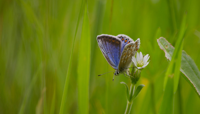 Common Blue Old Bidlake Farm Bridport Dorset