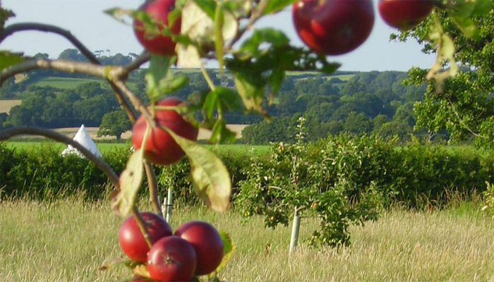 Old Bidlake Farm Bell Tent Camping Dorset The Orchard Area Bring your own Bell Tent Orchard in Fruit