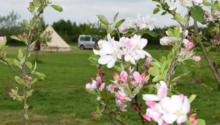Old Bidlake Farm Bell Tent Camping Dorset The Orchard Area Bring your own Bell Tent Orchard in flower